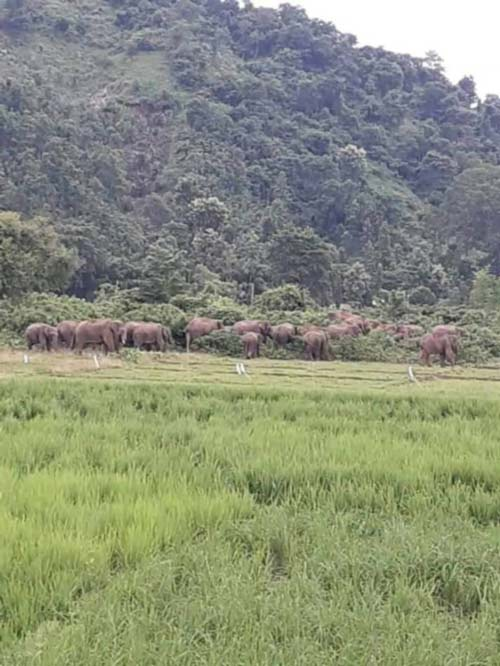 Paddy fields destroyed by invading elephants at Athiabari 1